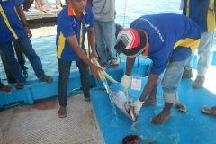 tuna-handling-on board Morotai