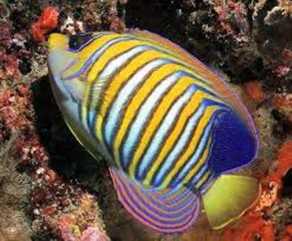 Optimalisasi Pemanfaatan Sumberdaya Ikan Hias di Daerah Terumbu Karang Bagi Kepentingan Pembangunan